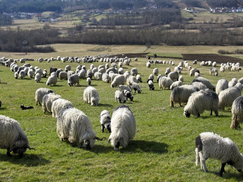 Download Herd of sheeps stock image. Image of brown, scene, animal - 6440699