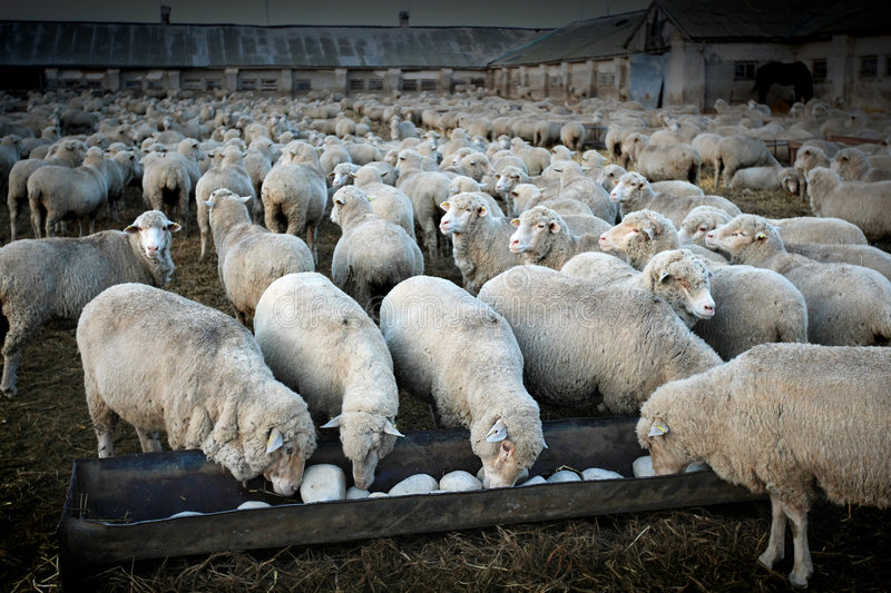 Herd of sheeps royalty free stock photo