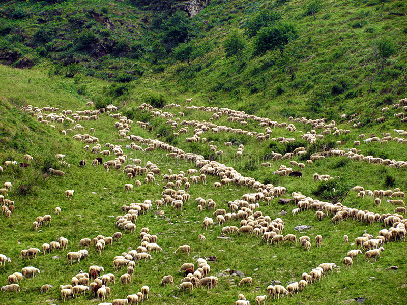 Herd of Sheep Climbing Mountain - Alps royalty free stock photo