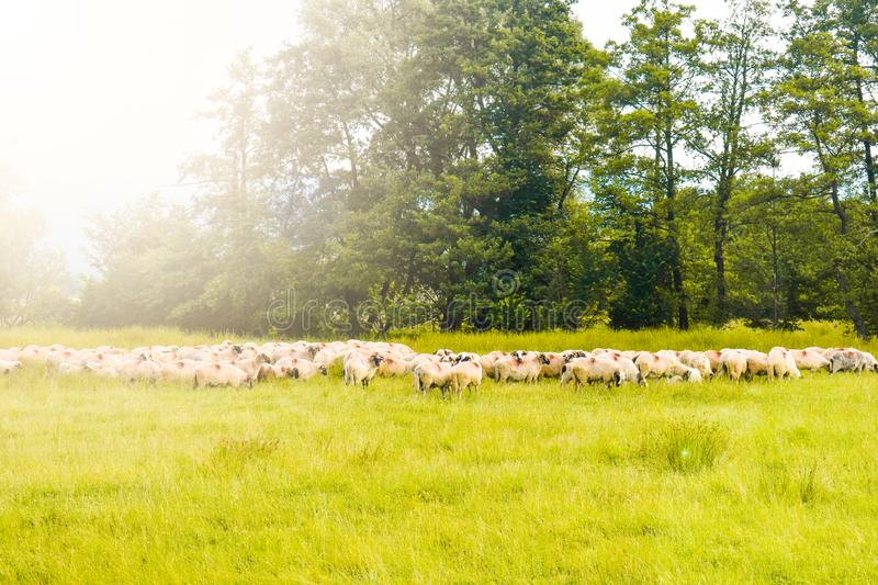 Herd of sheeps grazing on the green field. Styled stock photo with the beautiful pasture and the sheeps in Romania. Grass, nature, farming, meadow, agriculture royalty free stock image