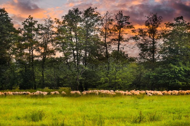 Herd of sheeps grazing on the green field. Styled stock photo with the beautiful pasture and the sheeps in Romania. Grass, nature, farming, meadow, agriculture stock photos