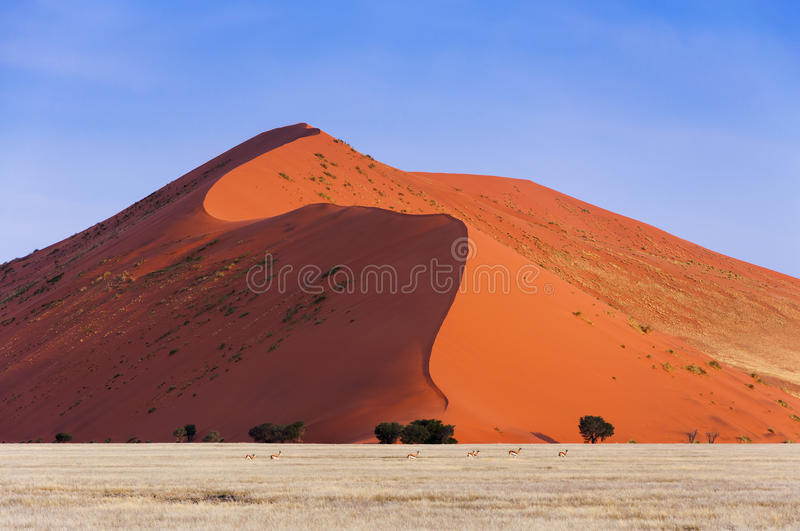 Herd of Springbok passing in front of a red dune in Sossusvlei, Namibia. Concept for traveling in Africa and Safari royalty free stock photos