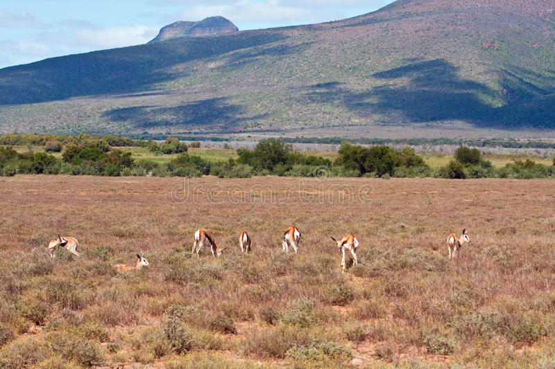 Download Herd Of Springbok On A Plain Stock Image - Image: 15137917