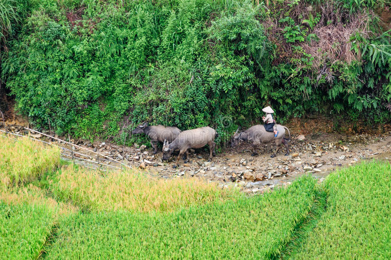 Download Herd Beside A Stream, Riped Rice Field, Near Tu Le, Mu Cang Chai Stock Image - Image: 33901663