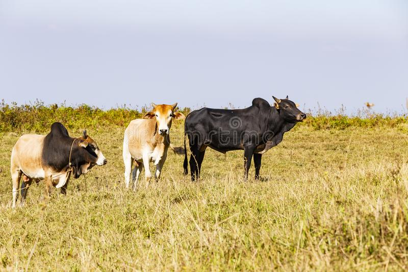 Herd of Thai domestic beef cattle grazing. Herd of Thai domestic beef cat7tle grazing on green pasture royalty free stock images