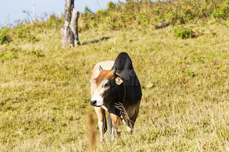 Herd of Thai domestic beef cattle grazing. Herd of Thai domestic beef cat7tle grazing on green pasture stock image