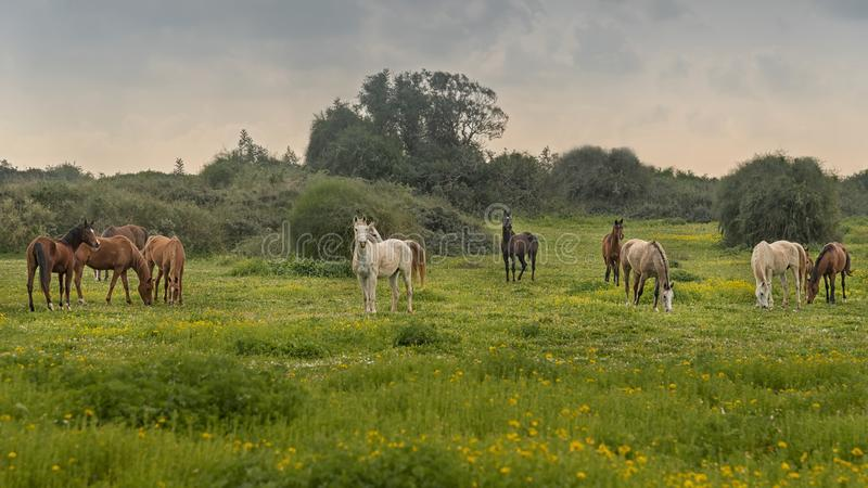 Herd of thoroughbred horses in the pasture. Rural landscape royalty free stock photos