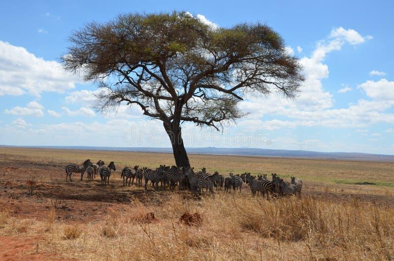 Herd van Afrikaanse zebras in de schaduw royalty-vrije stock foto