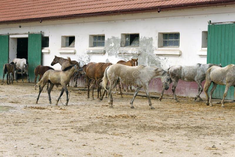 Herd van arabische paarden op de Mangalia stud farm, Roemenië royalty-vrije stock afbeelding