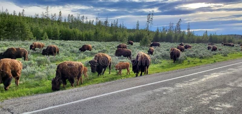 Herd van Bison in Yellowstone National Park stock afbeelding
