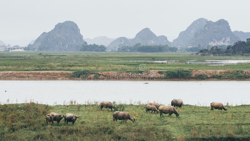 Herd of water buffalo standing at the waterfront near Ninh Binh village, Vietnam. Cow, animal, domestic, cattle, bull, drink, wild, look, asia, asian, laos royalty free stock image