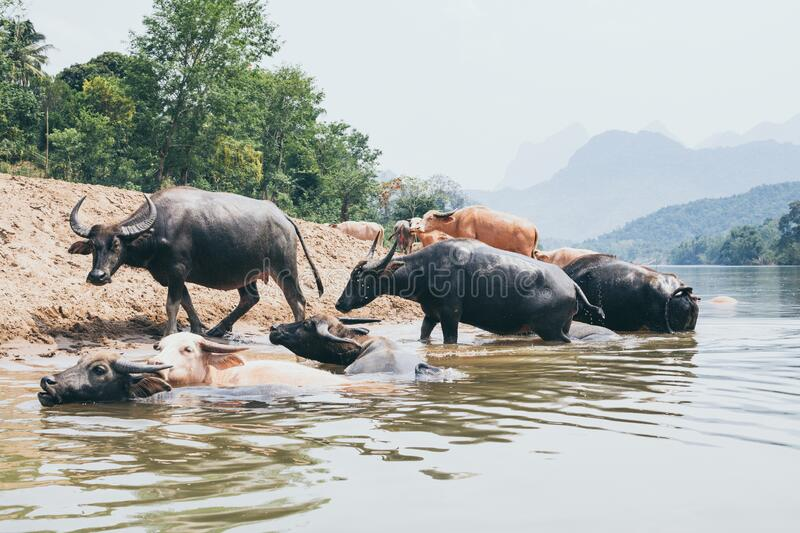 Herd of water buffalo standing at the waterfront near Nong Khiaw village, Laos. Cow, animal, domestic, cattle, bull, drink, wild, look, family, together, asia stock images