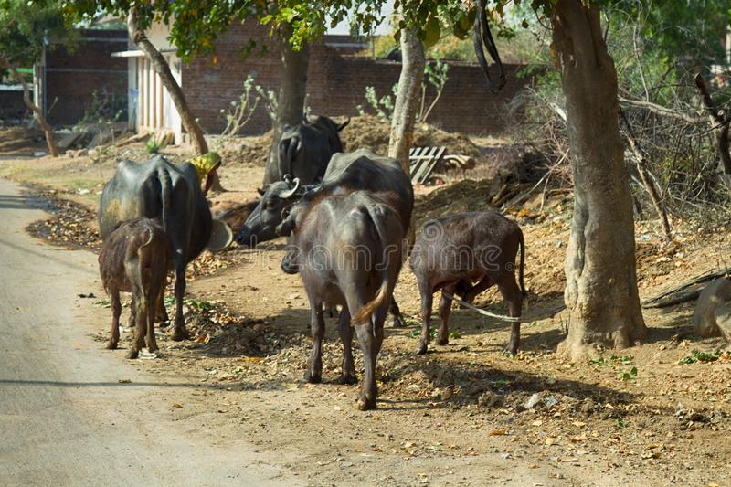 Herd of water buffaloes on streets of Indian villages. A herd of water buffaloes on the streets of Indian villages, cows and calves stock photo