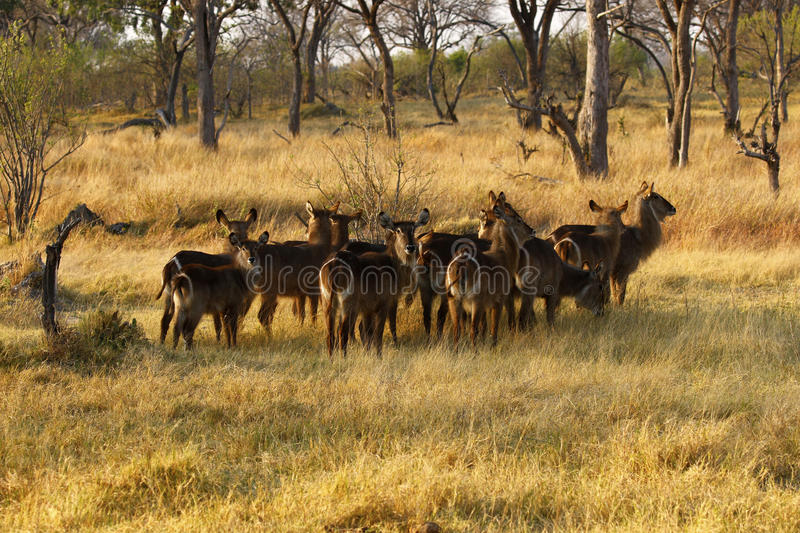 Herd of Waterbuck. The Waterbuck is a gregarious animal found widely throughout Africa This group is a nursery herd with females and youngsters their offspring royalty free stock photos