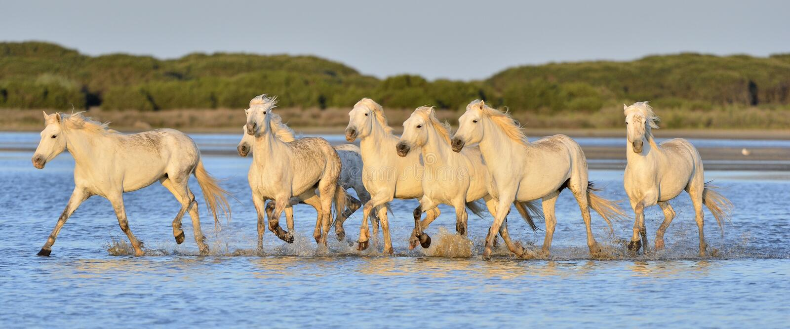 Herd of White Camargue Horses running on the water . royalty free stock photography