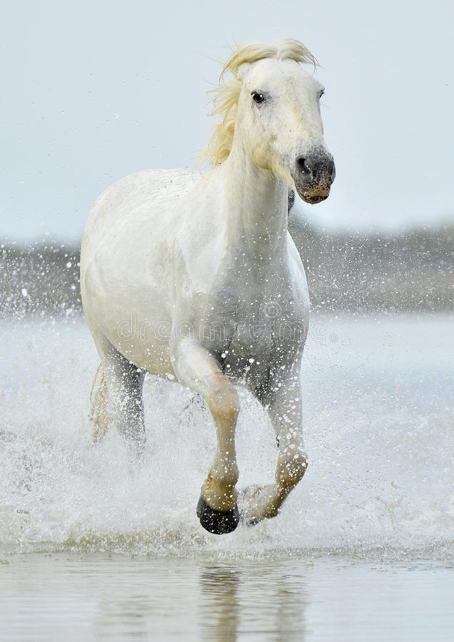Herd of White Camargue horses running through water royalty free stock photography