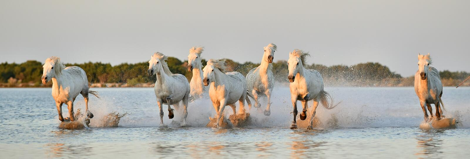 Download Herd Of White Camargue Horses Running Through Water Stock Photo - Image: 54678465