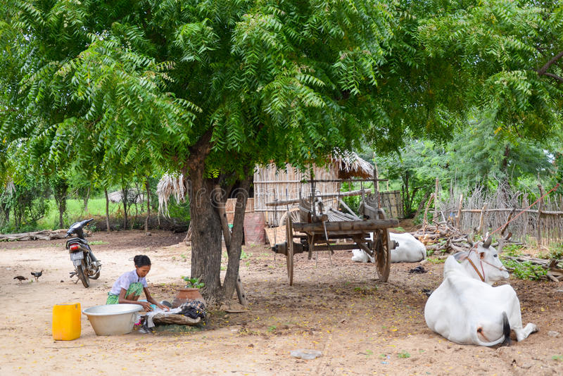 Herd of white cows in the village of Bagan, Myanmar royalty free stock image