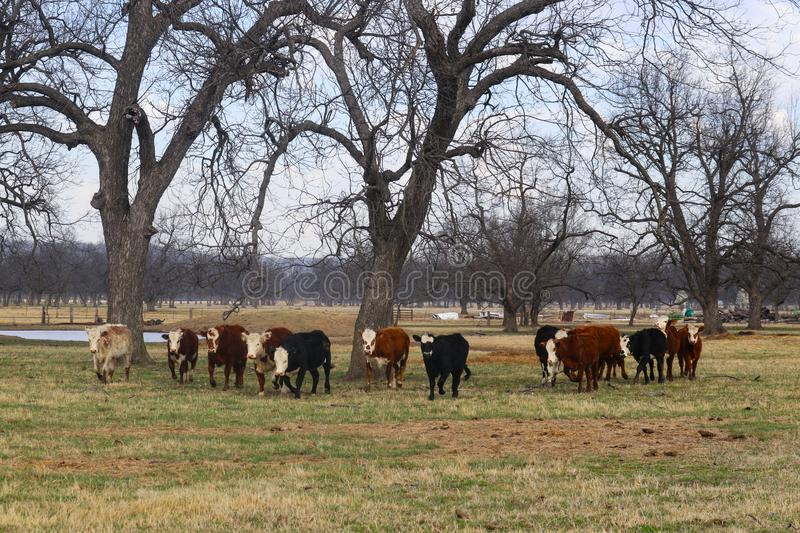 Herd of white faced cows walking forward in a in a horizontal line in pasture under big trees with pond in background stock photo