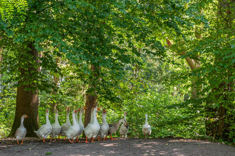 Herd of white geese walking along a dirt road surrounded by trees seen from a low perspective. Wonderful summer day in the Netherlands, Holland stock photography
