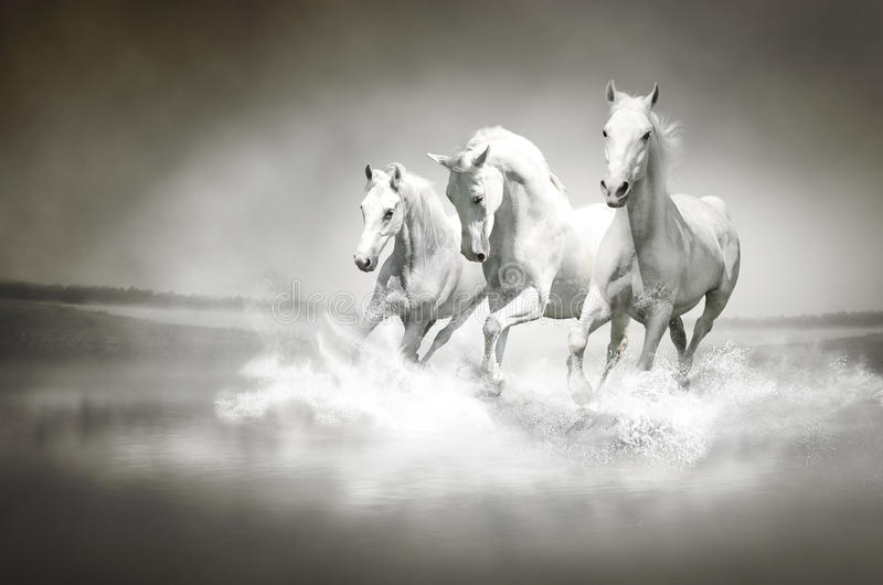 Herd of white horses running through water stock image