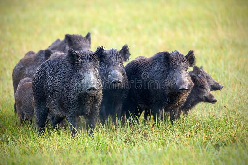 A herd of wild boars on a meadow with grass wet from dew. royalty free stock image