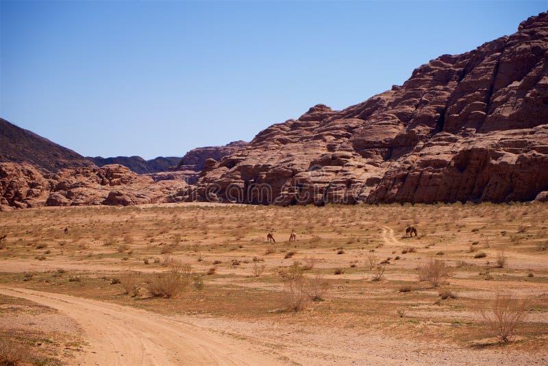 Herd of Wild Camels in Desert stock image