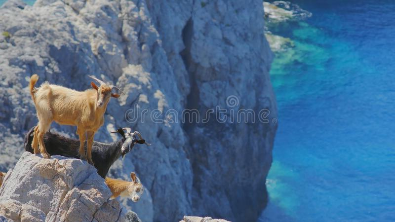 Herd Of Wild Curious Goats On Steep Rocks stock photo