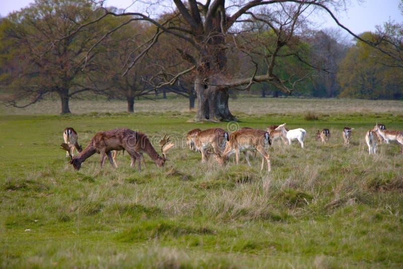 Herd of wild deers on a meadow stock photo