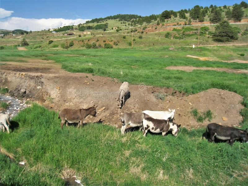 Cripple Creek Wild Donkeys. A herd of wild donkeys live in and around the small town of Cripple Creek, Colorado stock photos