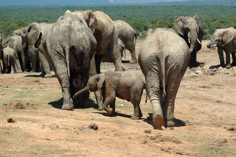 Download Herd of wild elephants stock photo. Image of wild, large - 3456798