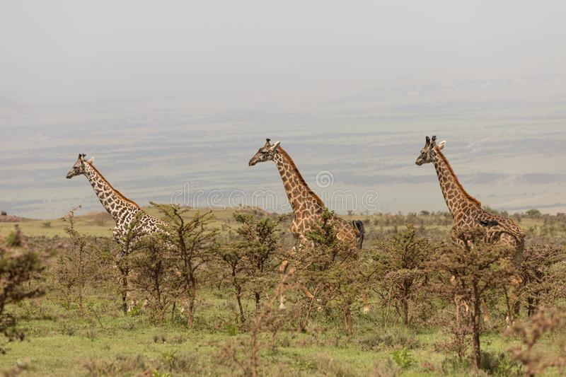 Wild giraffes in Serengeti national park, Tanzania stock image