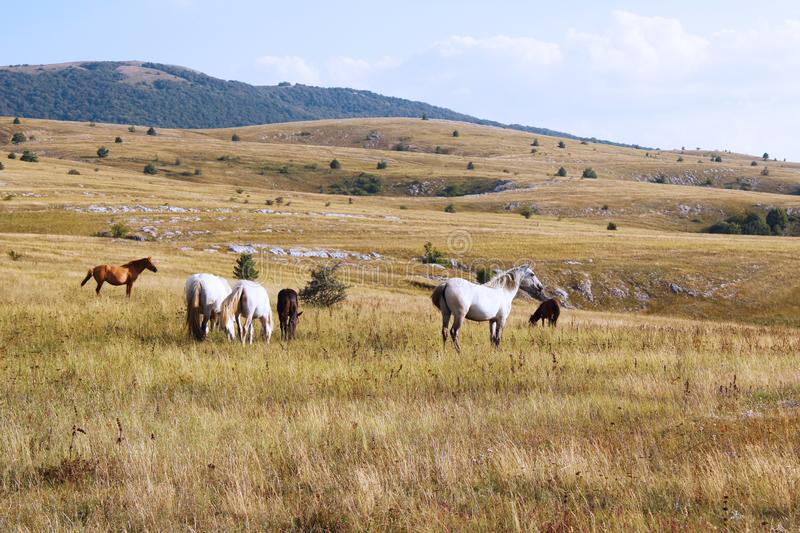 Herd of wild horses grazed on a field in the mountains of Crimea.  royalty free stock image