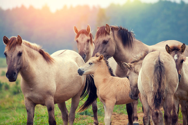 Herd of wild horses stock photo