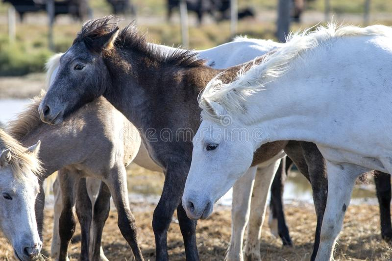 Herd of wild horses with mothers and foals royalty free stock images