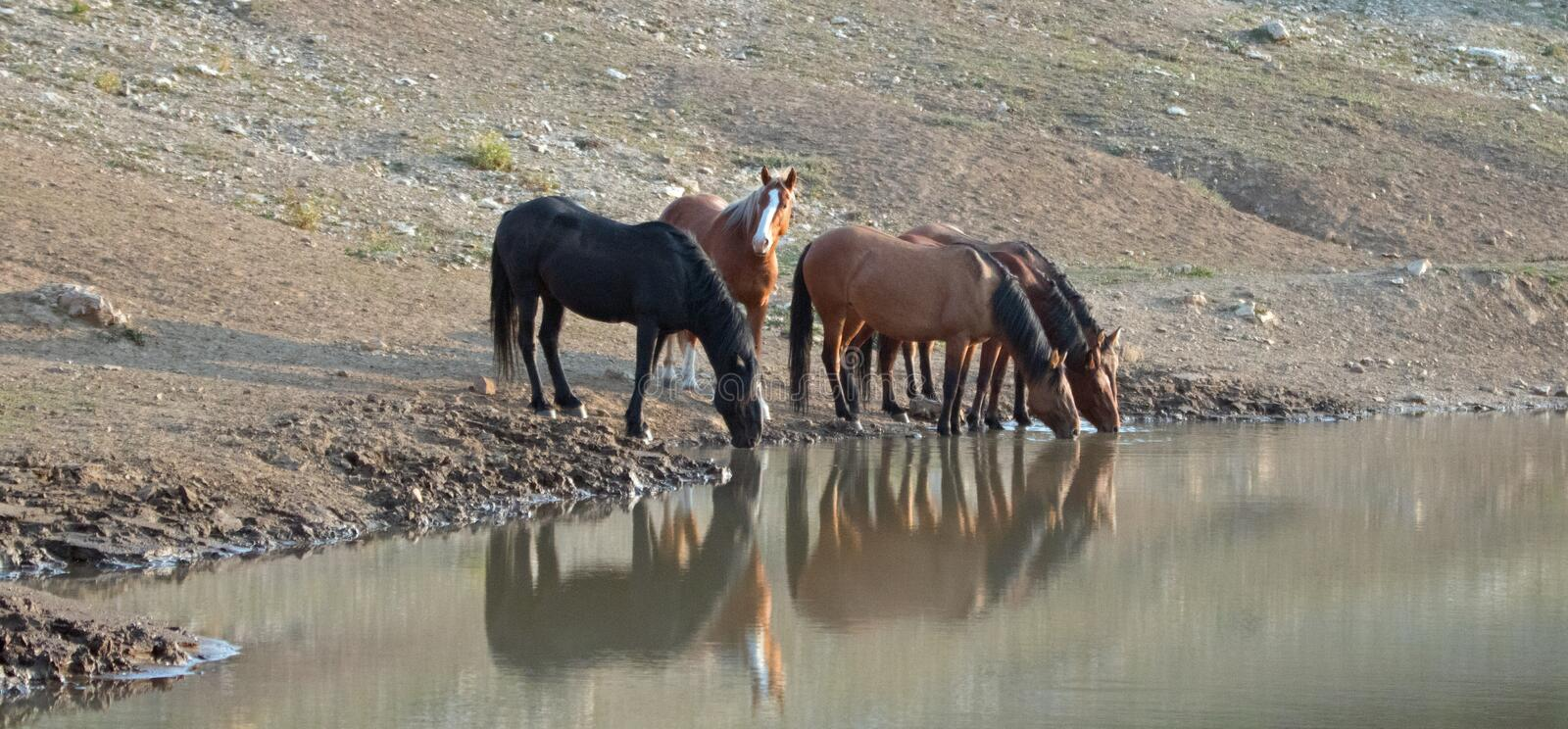 Herd of wild horses reflecting in the water while drinking at the waterhole in the Pryor Mountains Wild Horse Range in Montana USA. Herd of wild horses royalty free stock image