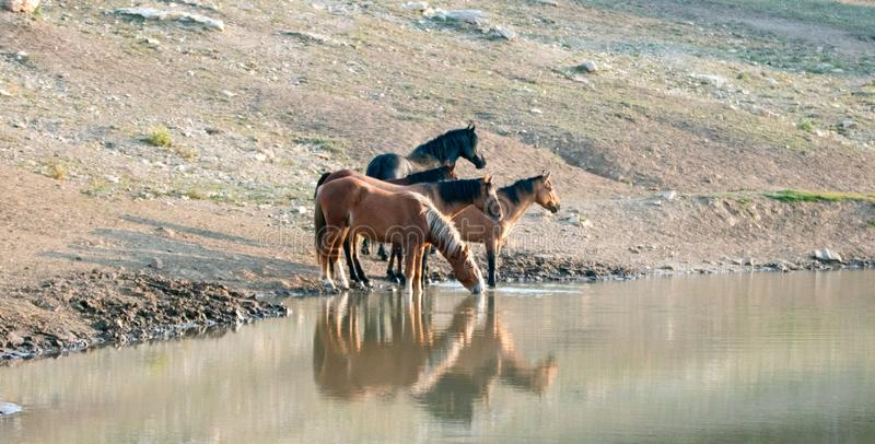 Herd of wild horses reflecting in the water while drinking at the waterhole in the Pryor Mountains Wild Horse Range in Montana USA. Herd of wild horses stock images