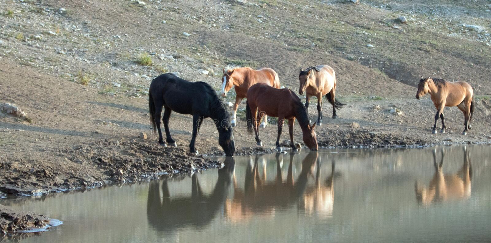 Herd of wild horses reflecting in the water while drinking at the waterhole in the Pryor Mountains Wild Horse Range in Montana USA. Herd of wild horses stock image