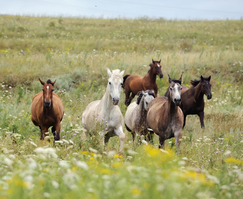 Download Herd Of Wild Horses Running On The Field Stock Photo - Image: 16446560