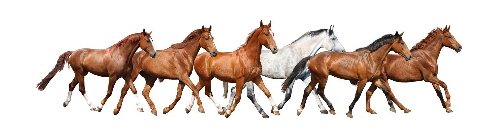Herd of wild horses running free on white background royalty free stock images