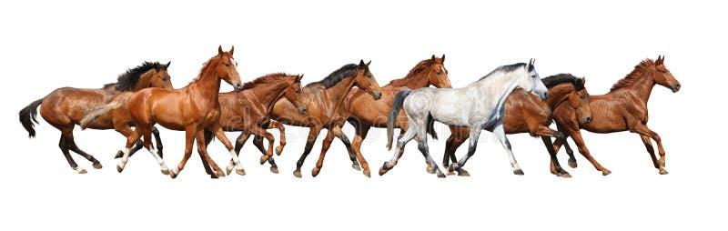Herd of wild horses running isolated on white stock image