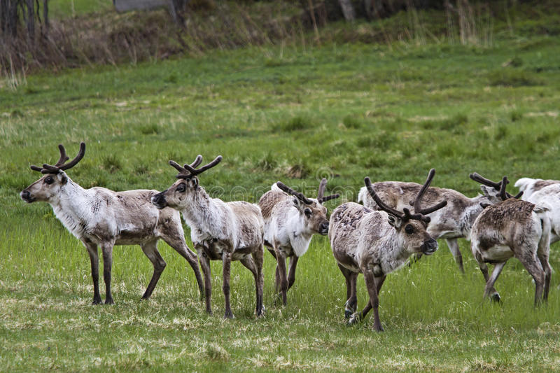 Herd of wild reindeer royalty free stock image