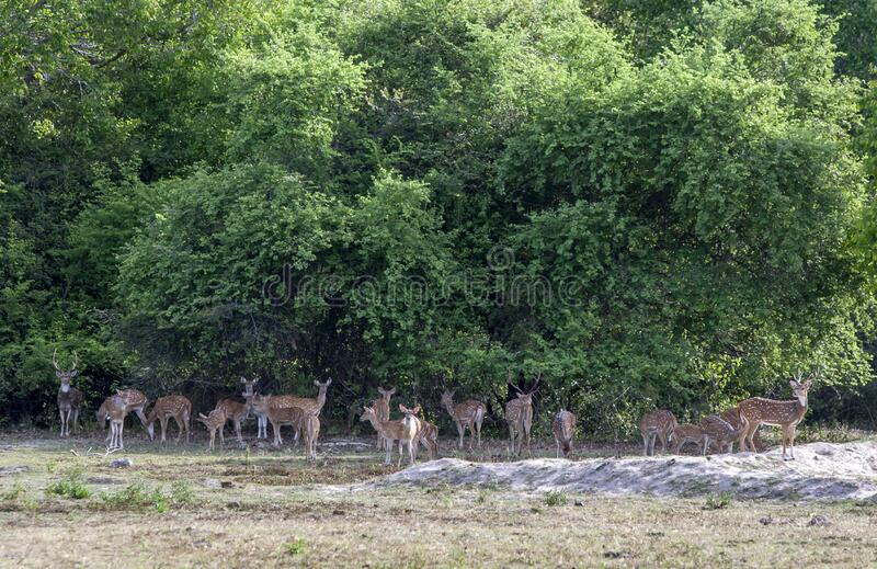A herd of wild Spotted Deer in Sri Lanka. stock photo