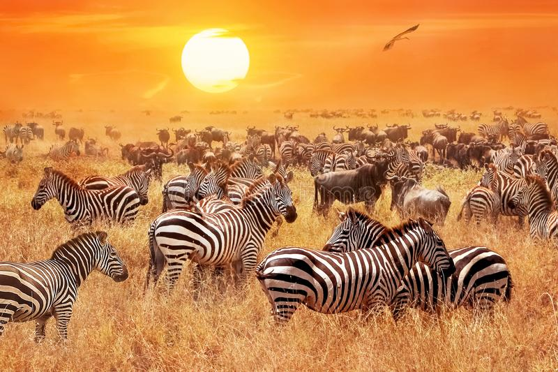 Herd of wild zebras and wildebeest in the African savanna against a beautiful orange sunset. The wild nature of Tanzania. stock photo