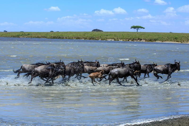 Herd of Wildebeest crossing a river in the Serengeti stock image
