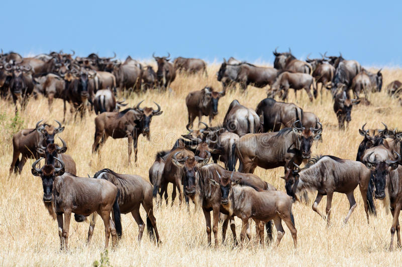 Download A Herd Of Wildebeest Migrate On The Savannah Stock Photo - Image: 15612354