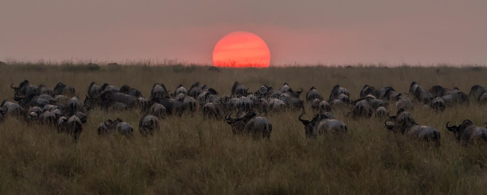 Herd of wildebeest walking into the sunset after crossing the Nile River royalty free stock image