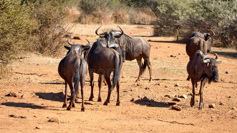 Wildebeest by a watering hole. Herd of wildebeest by a watering hole in Pilanesberg National Park, North West Province, South Africa stock photos
