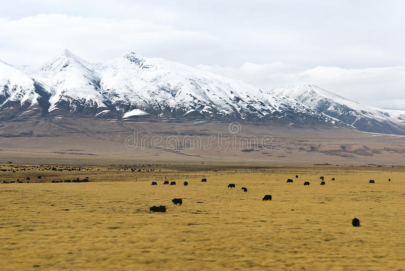 A herd of yaks in front of snowy mountains in clouds in Tibet stock images
