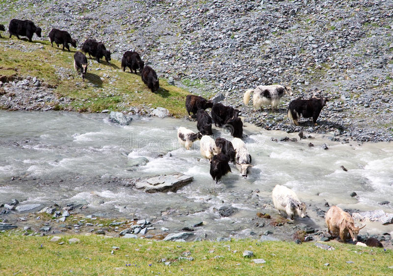 Herd of yaks passes through the mountain river stock images